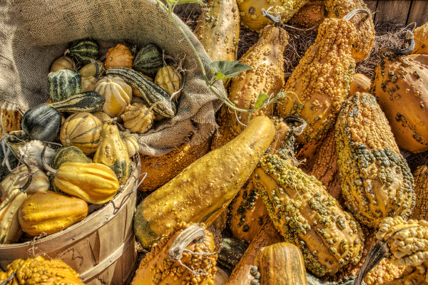 Bushells of gourds signal the Autumn Harvest