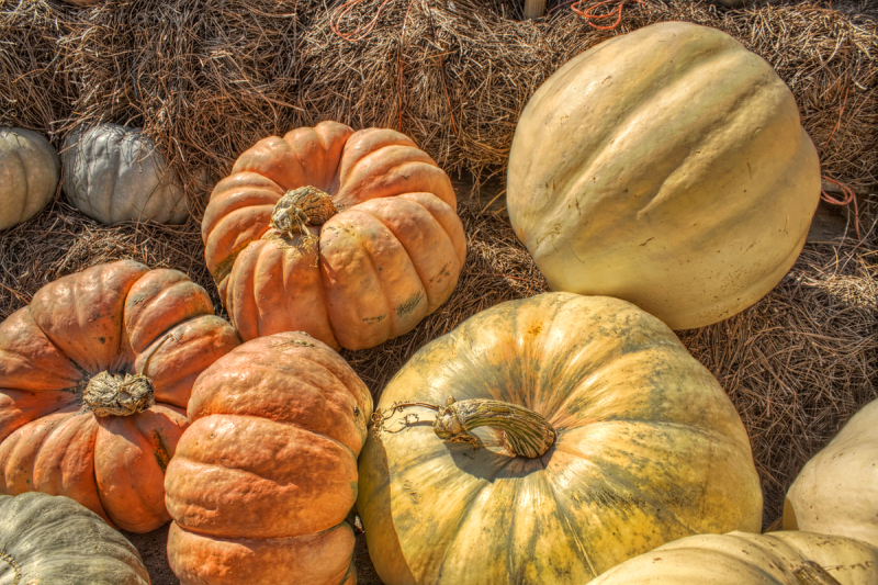Autumn Harvest - Pumpkins