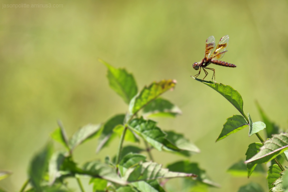 Brown-Hawker Dragonfly at rest on a leaf