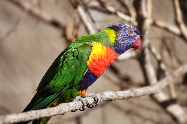 Rainbow Lorikeet posing for the camera