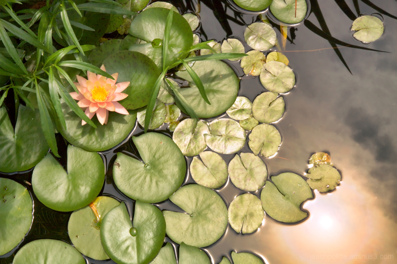 Reflected Light Upon Flowering Water Lilies