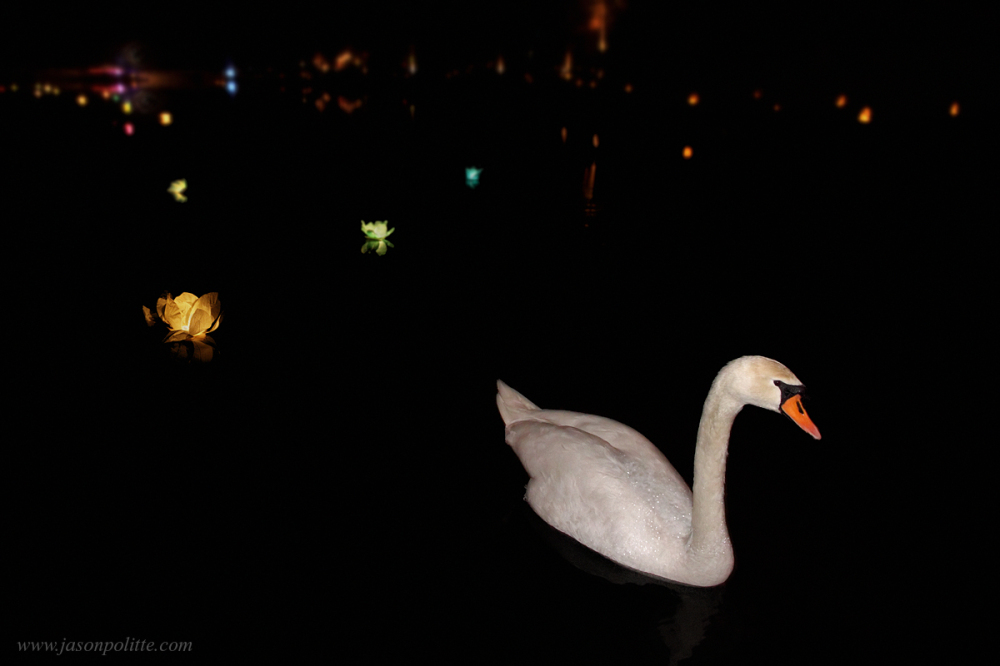 Swan swimming amongst paper flower lanterns