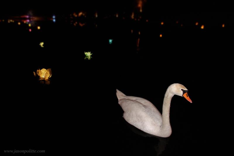 Swan swimming amongst paper flower lanterns