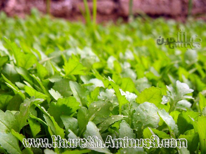 باغچه خونه كه توش سبزيجات كاشته شده؛ از جمله شاهي