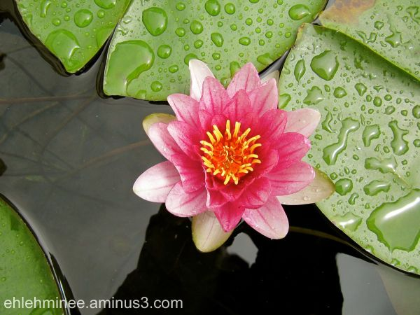 Lotus flower at the Getty Villa Museum.