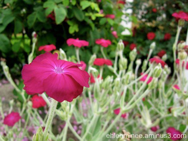 A bright pink flower