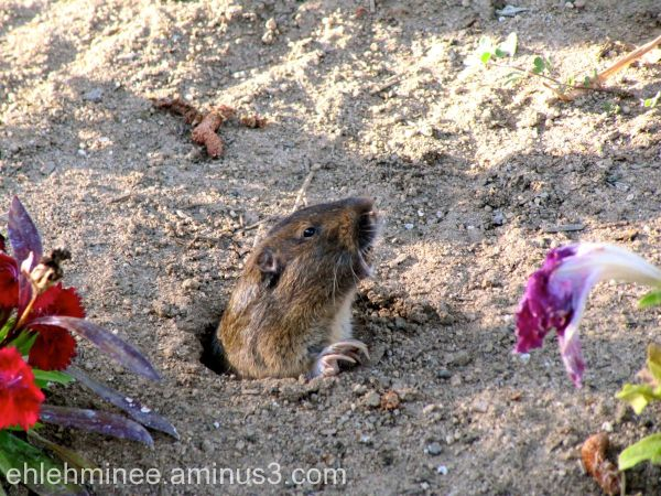A gopher appears out of a hole