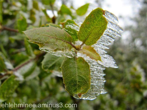 Ice on an oak Leaf