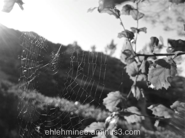 Spiderweb Oak