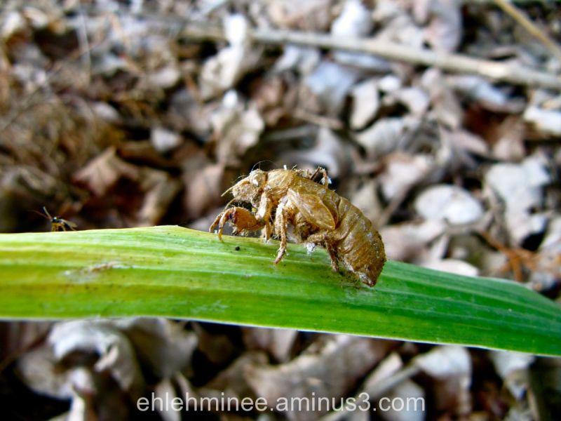 Dead Cicada