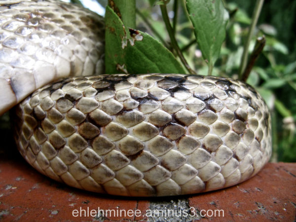 Gopher Snake Scales