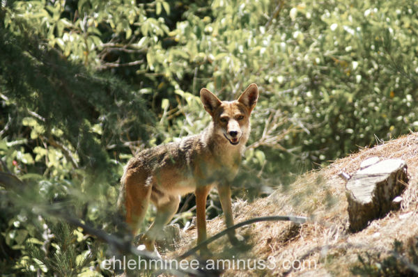 Coyote on a hill