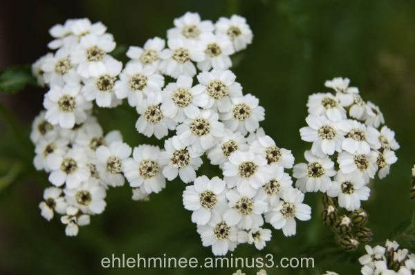 Alaskan Northern Yarrow Flower