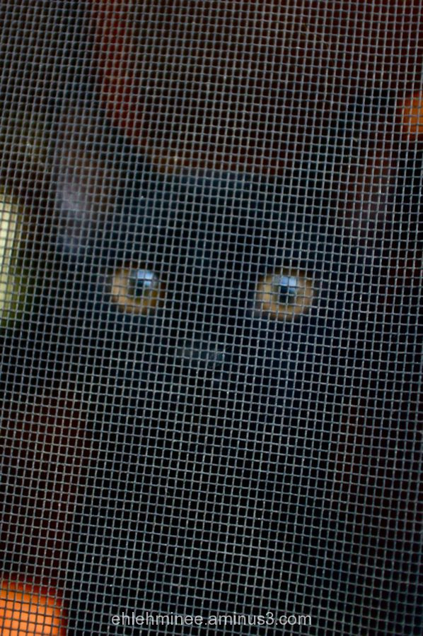 Cat Eyes through Screen Door