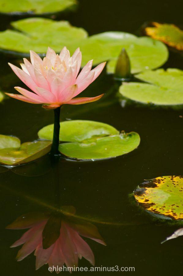 Pink lotus Flower Reflection