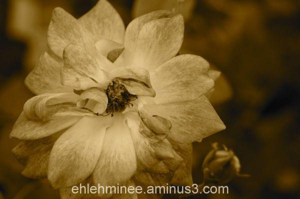 Freckled Rose