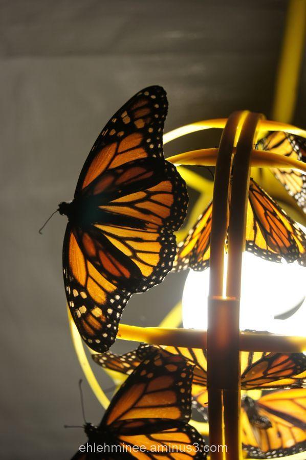 Monarch Butterfly Wings in Light