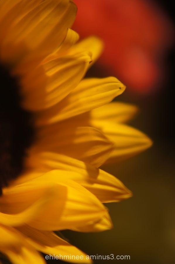 Yellow Sunflower Petals