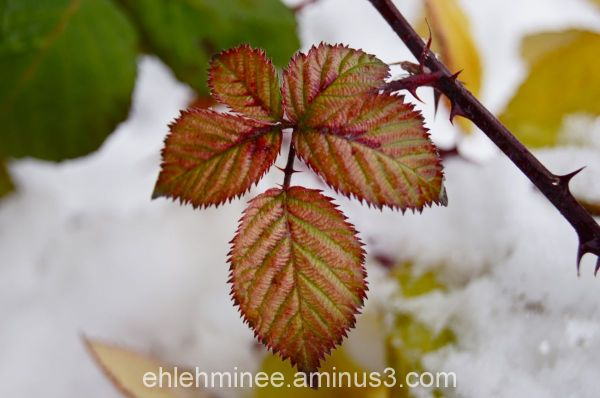 Raspberry leaves in snow