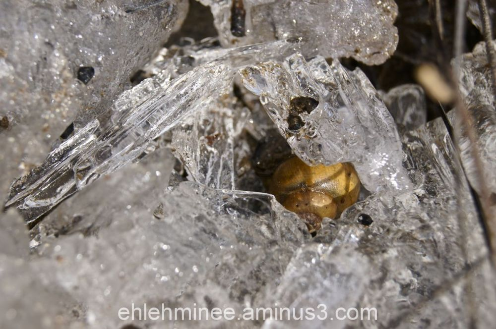 Snail Shell in Ice