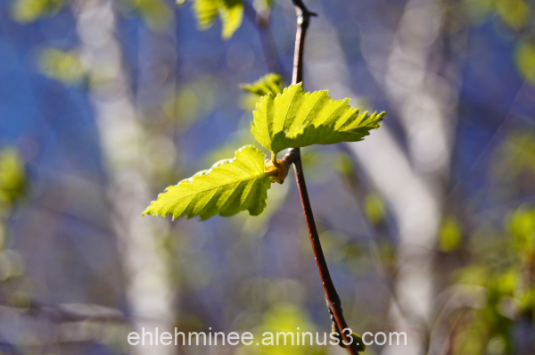 Birch Leaf Bokeh