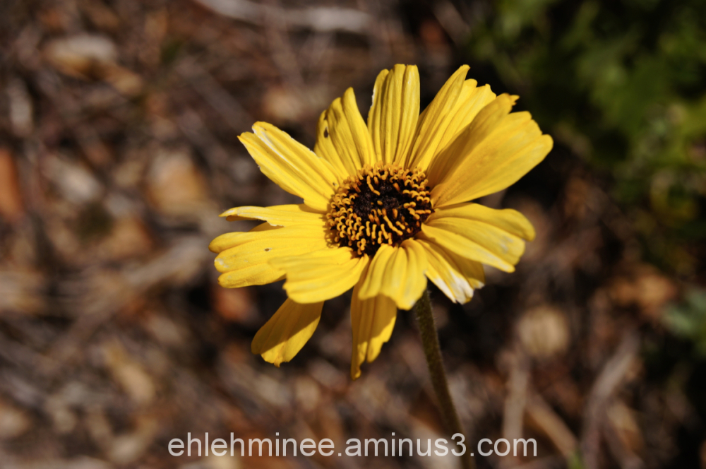 Yellow Wild Daisy