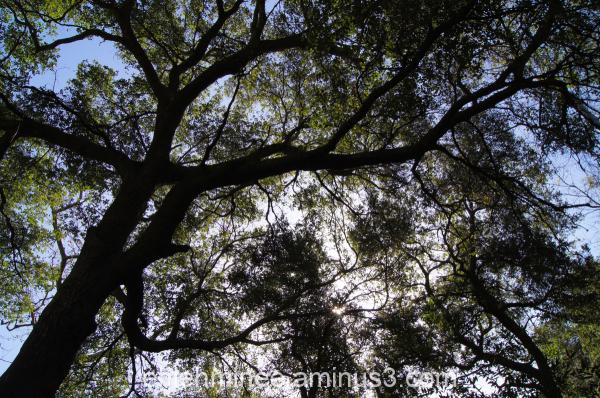Oak Trees that look like Veins
