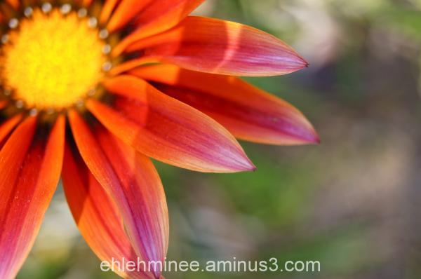 Colorful Daisy