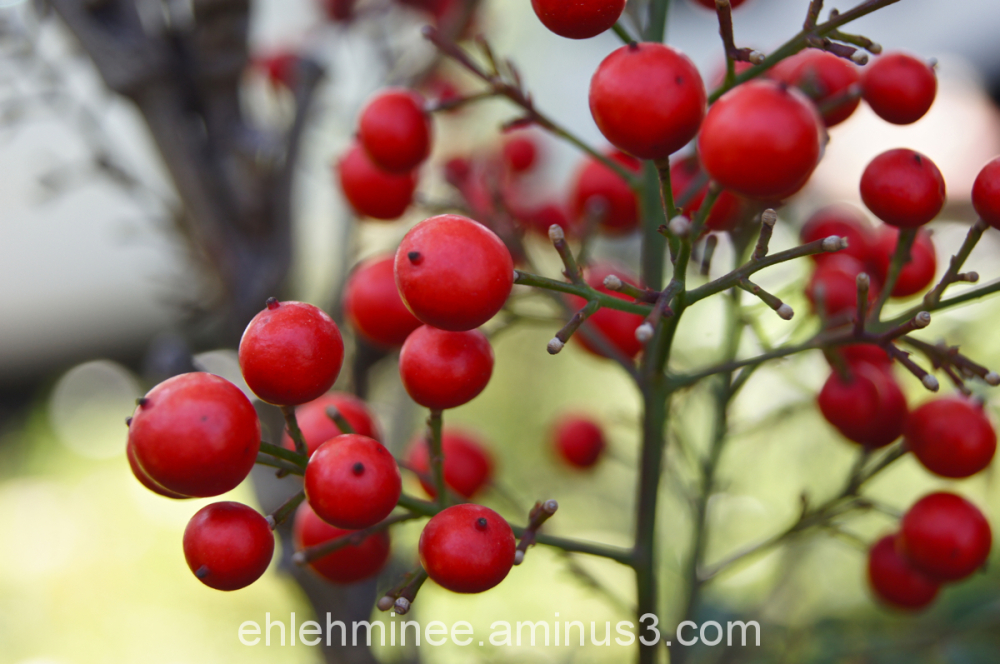 Red Poison Berries