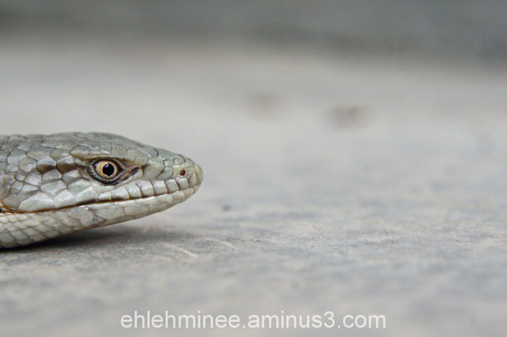 Alligator Lizard Head