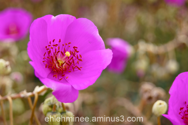 Fuschia colored flower