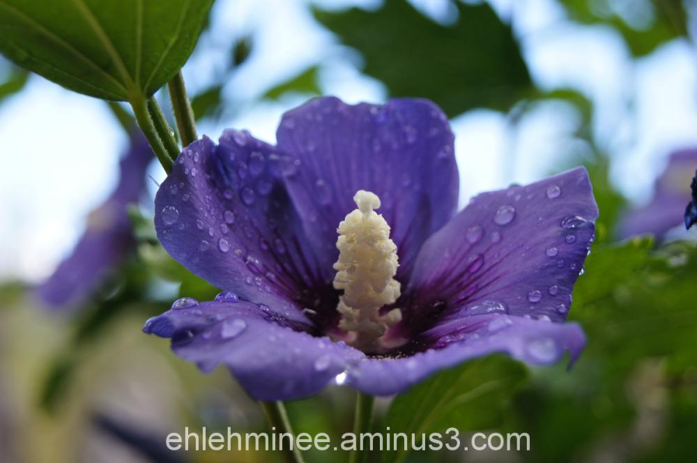 Purple flower with dew