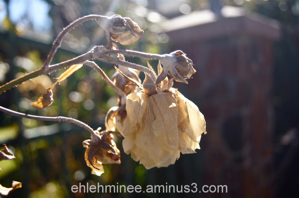 Dead Roses from Winter