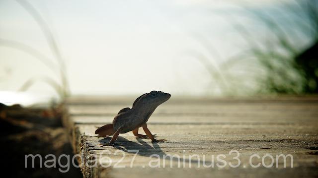 anteketborka.blogspot.com, lizard2
