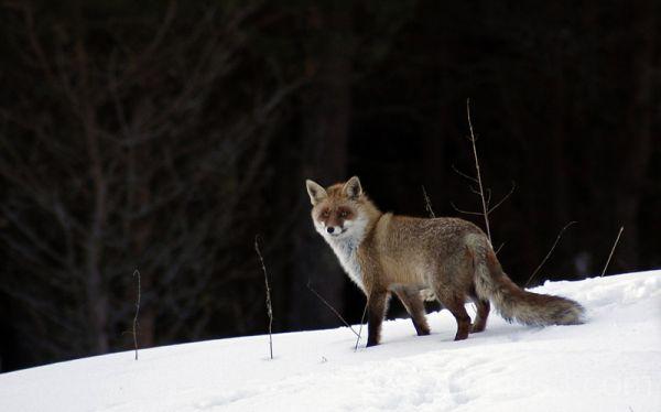 Rebane, Red Fox, Vulpes vulpes