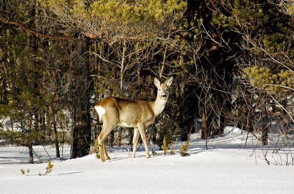Metskits, Roe deer, Capreolus capreolus