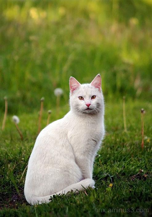 Valge kass, White cat