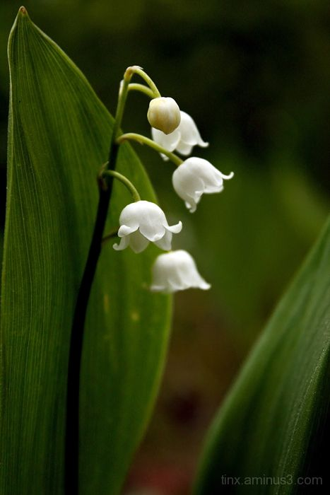 Maikelluke, Lily of the Valley