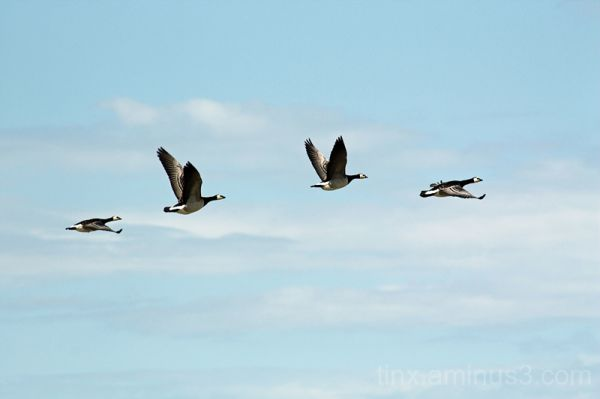 Barnacle Goose in flight