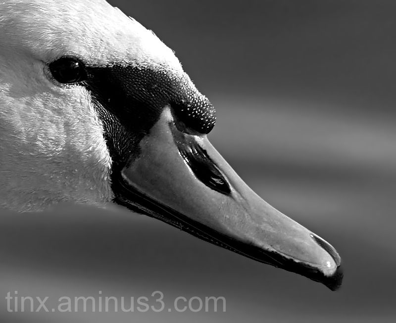 Lähivõte luigest, Close-up of swan