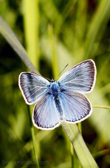 Taevastiib, Amanda's Blue, Polyommatus amandus