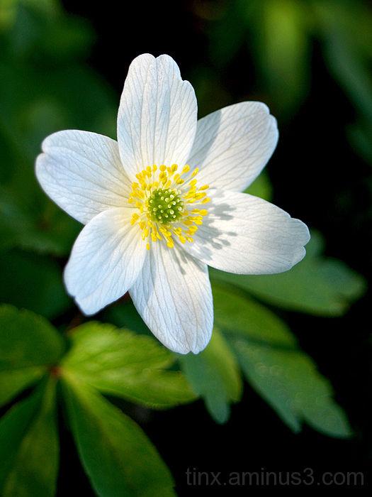 Ülane - Spring flower (Anemone nemorosa)