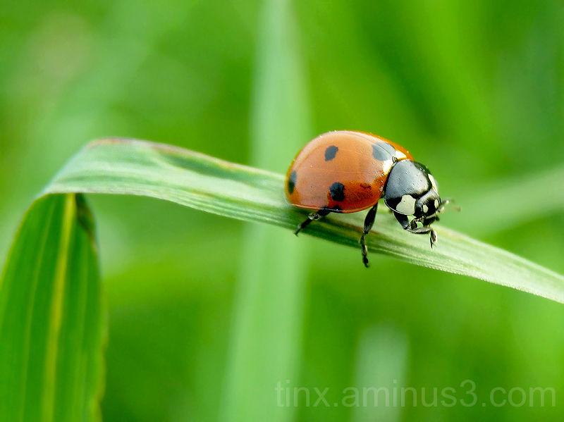 Lepatriinu, Ladybird