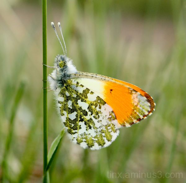 Koiduliblikas (Orange Tip)