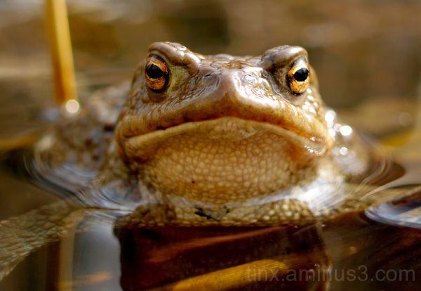 Harilik kärnkonn, Common toad (Bufo bufo)