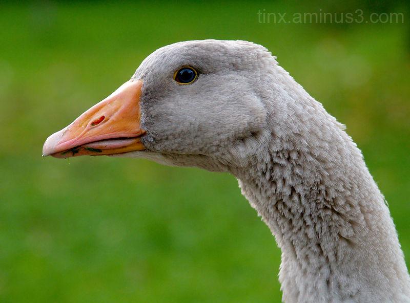 Hani, Goose