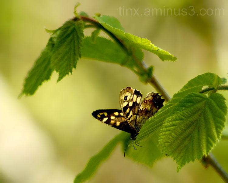Orasheinasilmik,Speckled Wood, Pararge aegeria