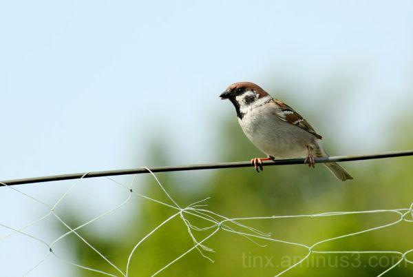 Põldvarblane, Tree Sparrow, Passer montanus