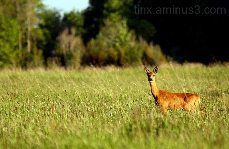 Metskits, Roe deer, Capreolus, capreolus