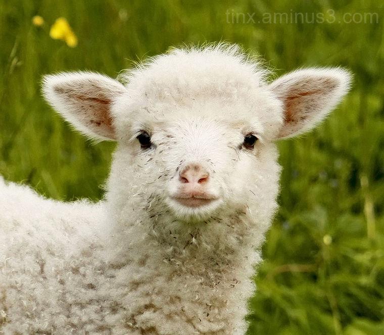 Tall, Lamb